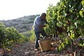 Hand harvesting wine grapes in Sicily.jpg