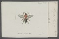Harpactus - Print - Iconographia Zoologica - Special Collections University of Amsterdam - UBAINV0274 043 10 0022.tif