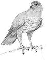 Havik Accipiter gentilis Jos Zwarts 4.tif