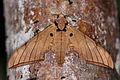 Hawk moth (Ambulyx pryeri pryeri).jpg
