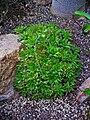 Haworthia cymbiformis variety 001.jpg