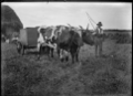 Haymaking, with a man in the foreground beside a cart drawn by two bullocks ATLIB 327300.png