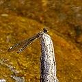 Heliocypha bisignata.jpg
