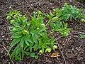 Helleborus viridis 001.JPG