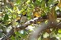 Hermit Warbler (male) Huachuca Canyon (upper) Sierra Vista AZ 2019-05-05 11-53-12 (47783753831).jpg