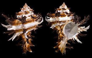 Hexaplex - Two views of a shell of Hexaplex cichoreum