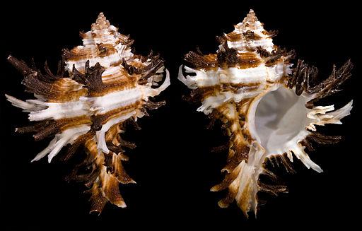HexaplexcichoreumProfils