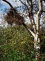 Hexenbesen an einer Birke.JPG