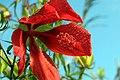 Hibiscus coccineus 4zz.jpg