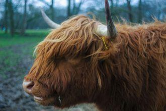 Highland cattle - Headshot of highland cattle