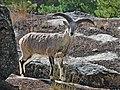 Himalayan Blue Sheep.jpg