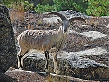 Himalayan Blue Sheep.jpg