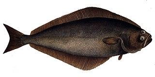 Atlantic halibut Species of fish