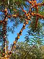 Hippophaë rhamnoides fruits3.jpg