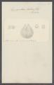 Hippopodius luteus - - Print - Iconographia Zoologica - Special Collections University of Amsterdam - UBAINV0274 110 13 0021.tif