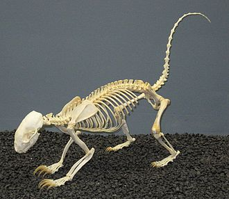 Zoological specimen - Hog-nosed skunk skeleton