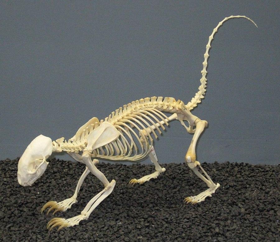 Hog-nosed Skunk Skeleton