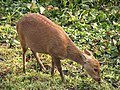 Hog Deer Kaziranga Tiger Reserve 01.jpg