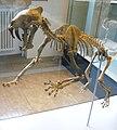 Hoplophoneus primaevus 1.JPG