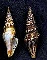 Hormospira maculosa 002.jpg