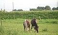 Horses in Duisburg-Rheinheim 017.jpg
