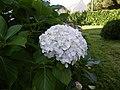 Hortensia - panoramio (2).jpg