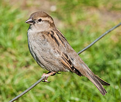 House Sparrow, England - May 09.jpg