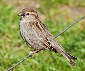 عصفور دوري 280px-House_Sparrow,_England_-_May_09.jpg