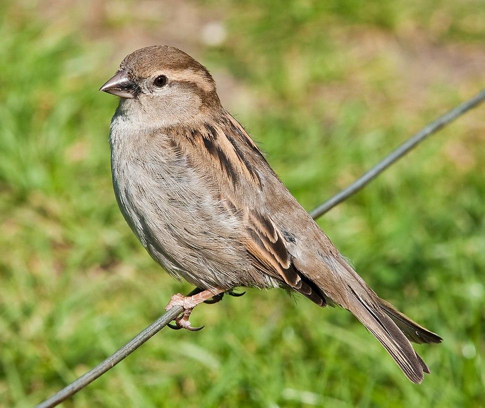 House Sparrow, England - May 09