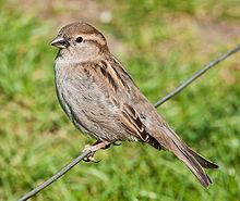 House Sparrow, England...