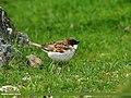 House Sparrow (Passer domesticus) (23380088585).jpg