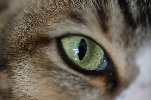 House cat eye