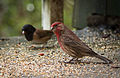 House finch and Oregon Junco.jpg