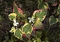 Houttuynia cordata Chamelion C.jpg