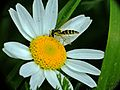 Hoverfly (6952751742).jpg