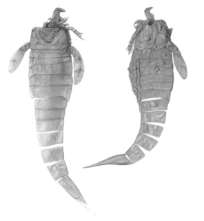 <i>Hughmilleria</i> Genus of extinct arthropods