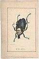 Hum-Bug (P. T. Barnum), from the Comic Natural History of the Human Race MET DP808187.jpg