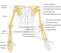 Human arm bones diagram-es.svg