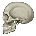 Human skull lateral view.jpg