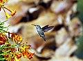 Hummingbird - Zumbador -Colibri - Sunset Park, Las Vegas (5106620230).jpg