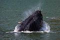 Humpback Whale (Megaptera novaeangliae) lunge feeding.jpg