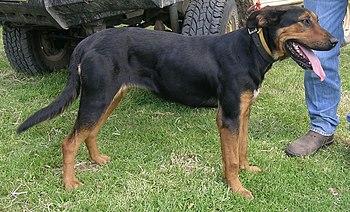 A Huntaway dog