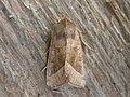Hydraecia micacea (2868941361).jpg