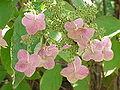 Hydrangea arboresecens discolor0.jpg