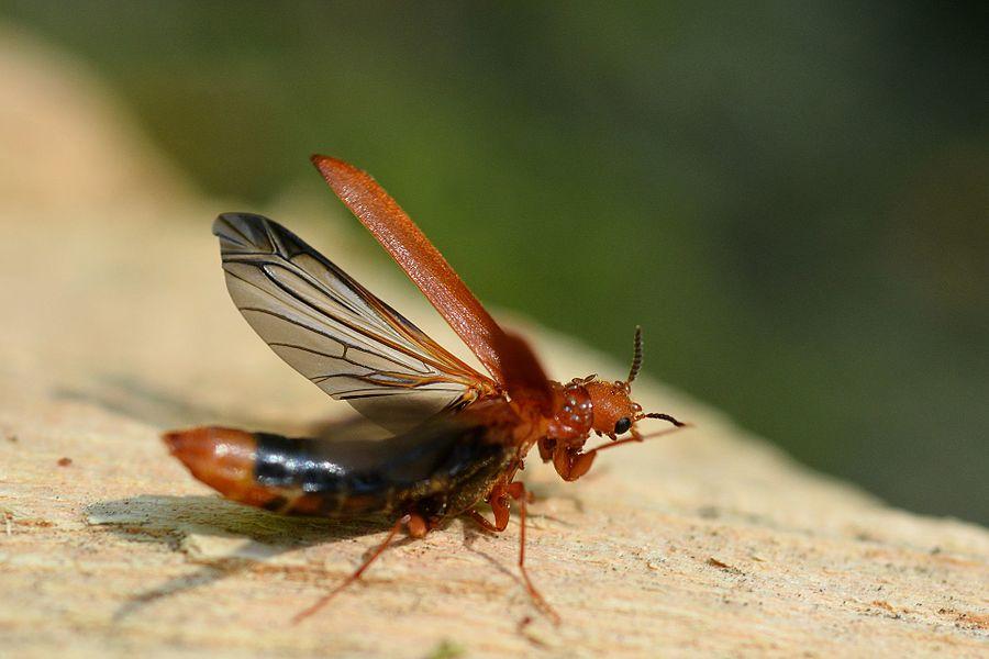 Hylecoetus dermestoides (Coleoptera Lymexylidae)