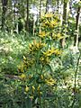 Hypericum hirsutum sl1.jpg
