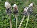 Hypochaeris uniflora NT4.jpg