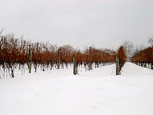Ice wine - An ice wine vineyard near Niagara Falls, Ontario