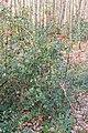 Ilex aquifolium in Foret des Palanges (5).jpg