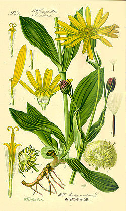 Illustration Arnica montana-clean.jpg
